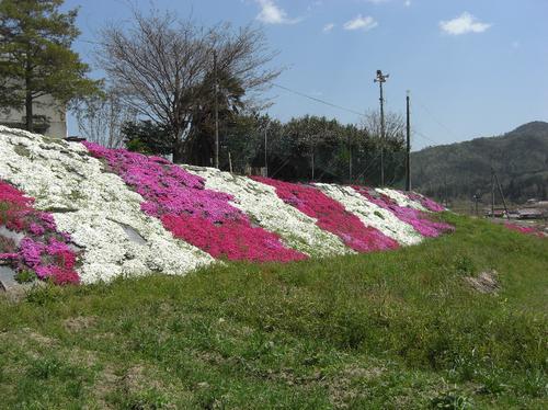芝桜1無題.png